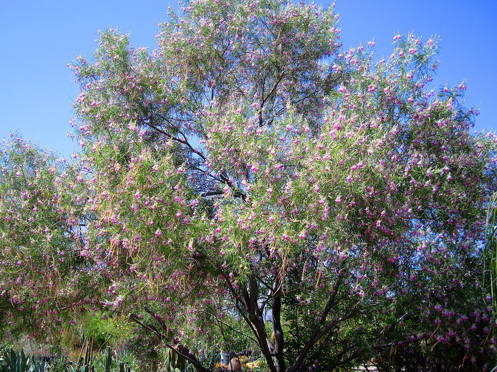 Care for Desert Willow Chilopsis