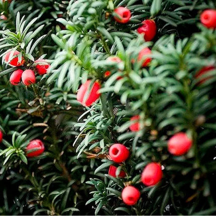 Taxus Yew Bush, Yew Shrub Varieties
